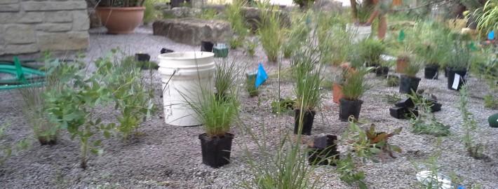 Native gravel gardening
