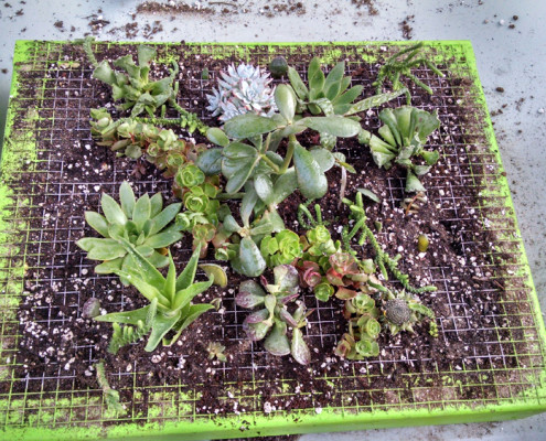 Planting the vertical succulent garden